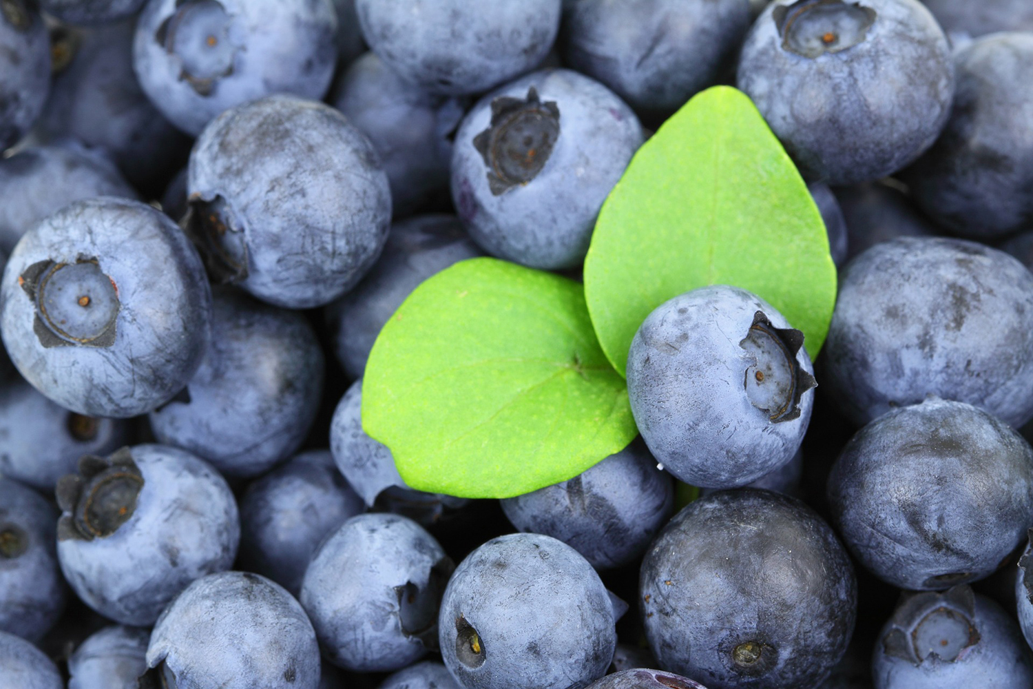 Close-up Blueberries Background